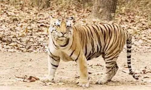 image of Royal Bengal tiger