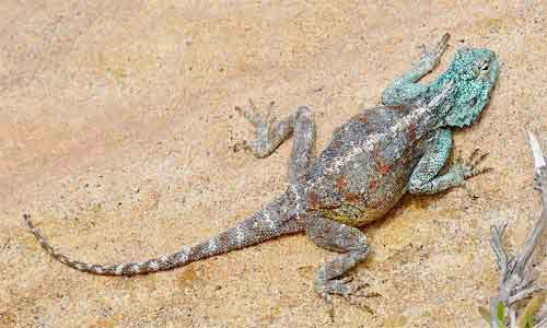 image of Southern-rock-agama