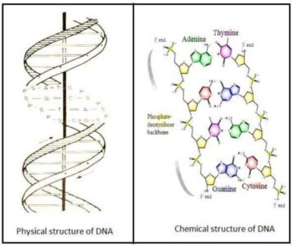 image of Structure of DNA