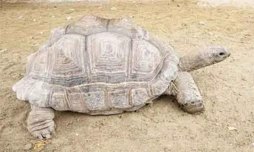 image of Tortoise, Aldabra giant tortoise (Geochelone gigantea)