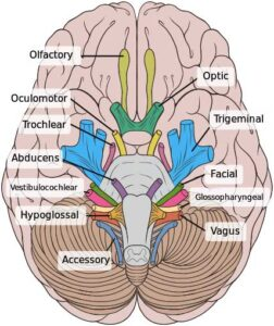 image of Cranial nerves