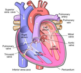 image of Diagram of the heart
