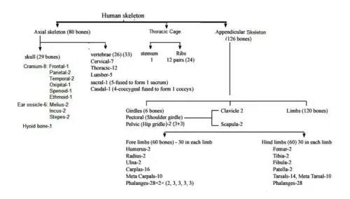 image of Human skeletal system at a glance