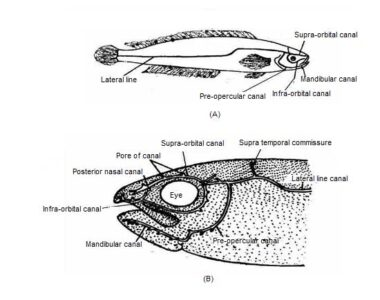 image of Lateral line system