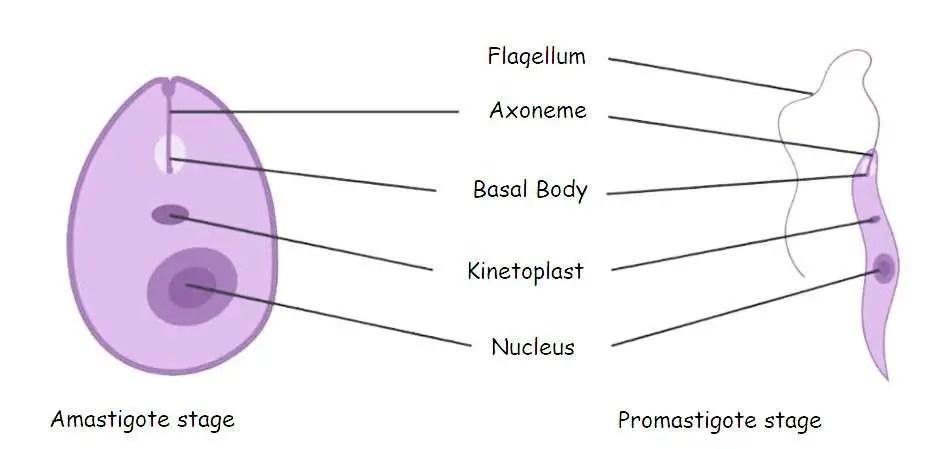 image of Amastigote and Promastigote stage of Leishmania