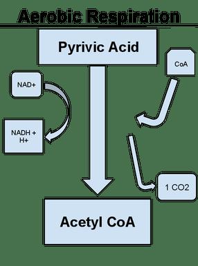 Cellular Respiration  Biology Facts