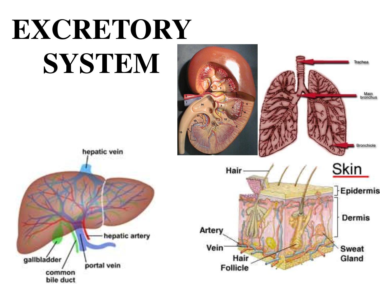 Excretory System Exercise