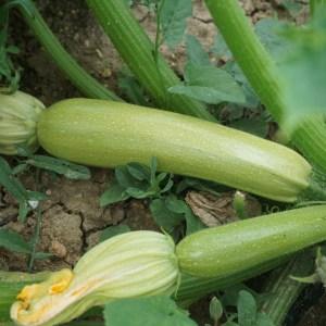 long zucchini