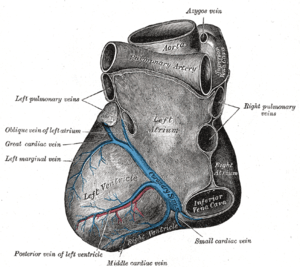 Base and diaphragmatic surface of heart.