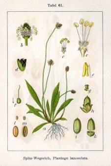 Plantago_lanceolata_Sturm61