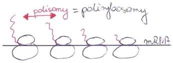 polisomy