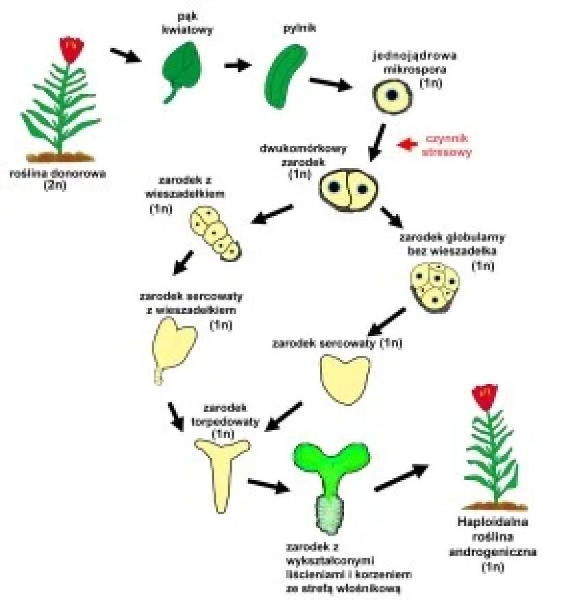 androgeneza schemat poprawiony