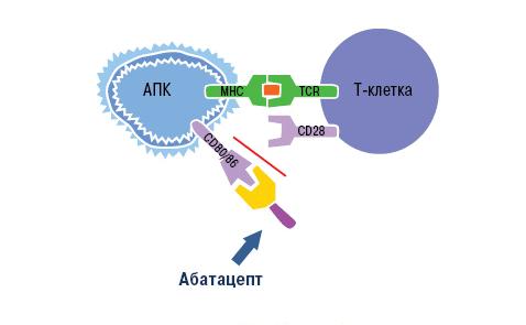 Механизм действия абатацепта