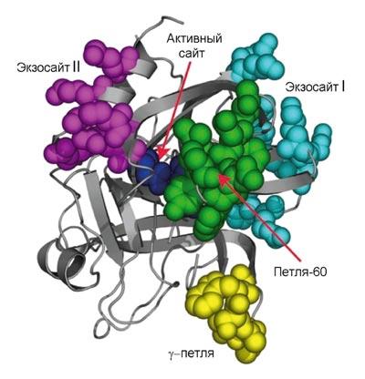 Трехмерная структура молекулы тромбина