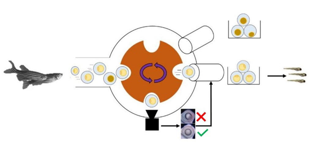 Technology of the eggsorter: a wheel grabs zebrafish eggs/embryos one by one and places them in front of a camera. Deep Learning Algorithms analyzes the images and classifies the eggs, sorting and dispensing them based on that classification.