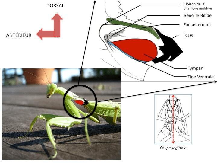 Schéma anatomique du système auditif de la mante religieuse