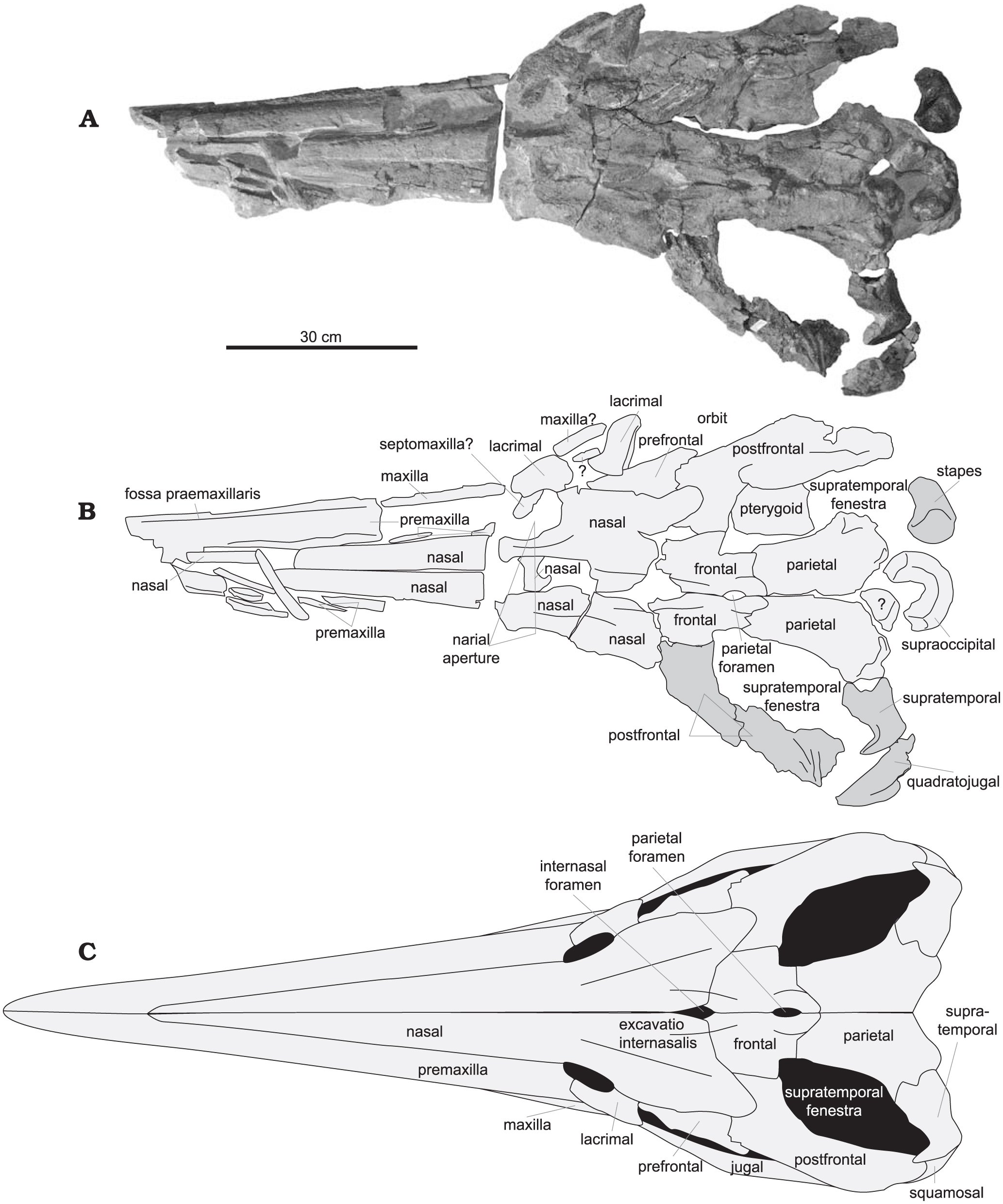 New Data On The Ichthyosaur Platypterygius Hercynicus And