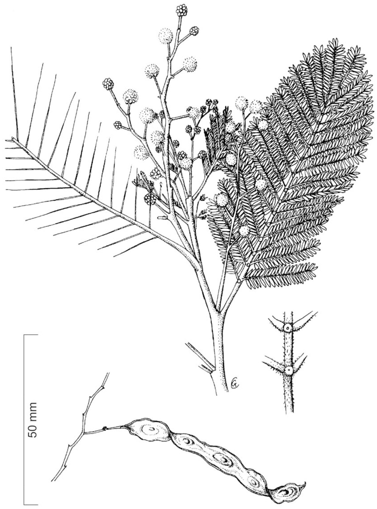 Biological Control Of Australian Acacia Species And
