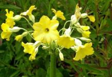 Cowslip or Herb Peter
