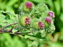Burdock – Healthy Food and Effective Herbs Medicinal Plant