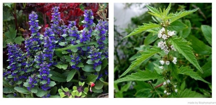 Herb's Medicinal Purpose of Gypsywort and Bugleweed