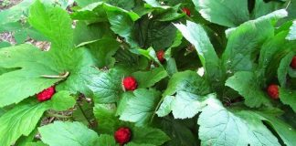 What is Goldenseal?