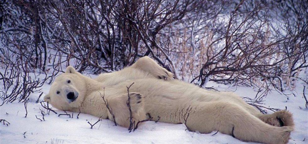 Vegware polar bear