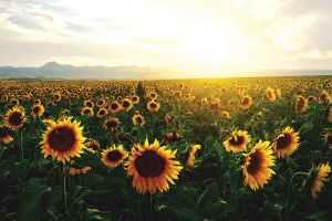 sunflower bioplastics biocomposites