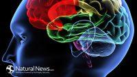 човек-глава-мозък-модел