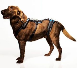 Large harness brown lab
