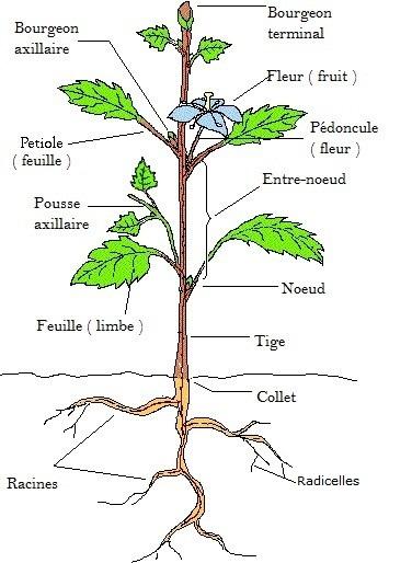 plante-depolluantes-texte-partie-de-la-fleur-tige-et-racine