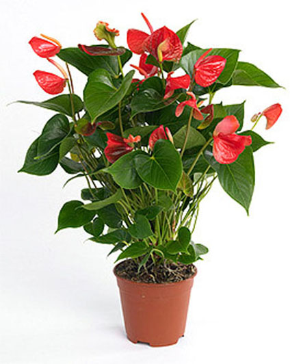 plantes-depoluantes-anthurium-andraeanum