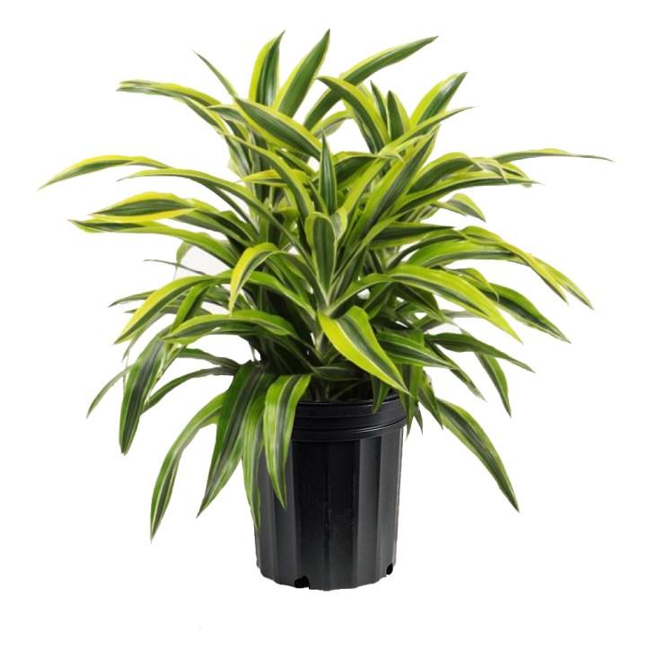 plantes-depoluantes-dracaena-deremensis