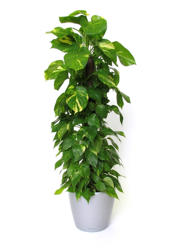 plantes-depoluantes-epipremnum-aureus