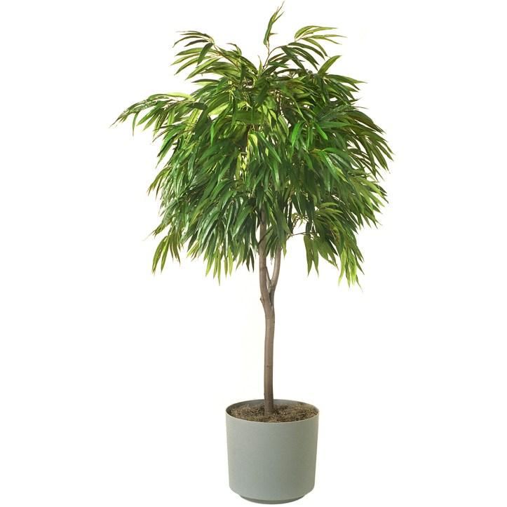 plantes-depoluantes-ficus-alii