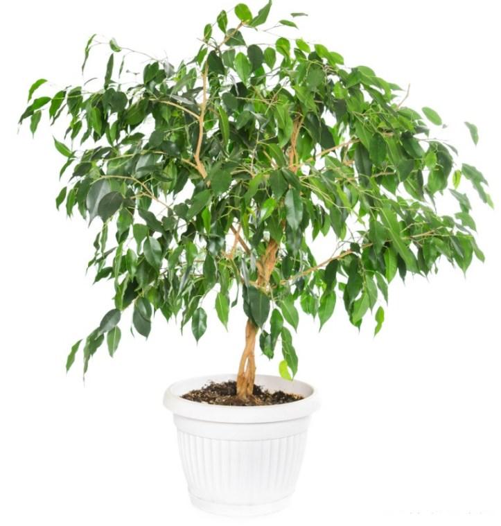 plantes-depoluantes-ficus-benjamina