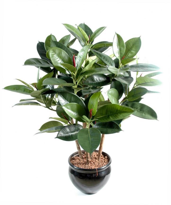 plantes-depoluantes-ficus-elastica