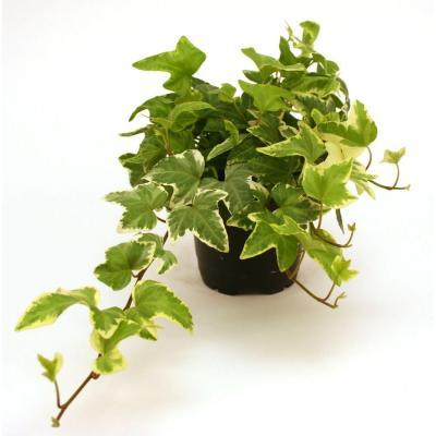 plantes-depoluantes-hedera-helix