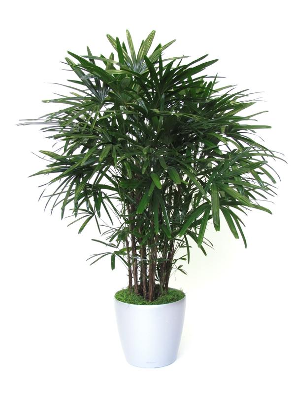 plantes-depoluantes-rhapis-excelsa