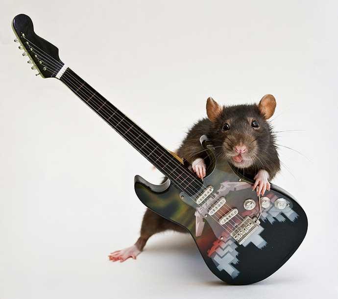 Крысы: интересные факты