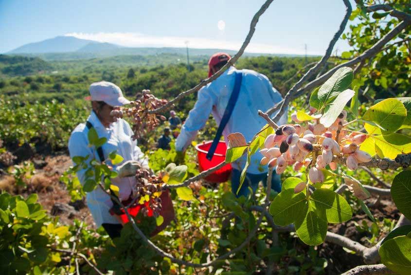 Agricoltura biologica pistacchi Bronte