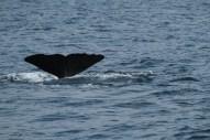 Sperm whale fluke for ID (taken by Craig Turner)