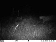 Cape leopard