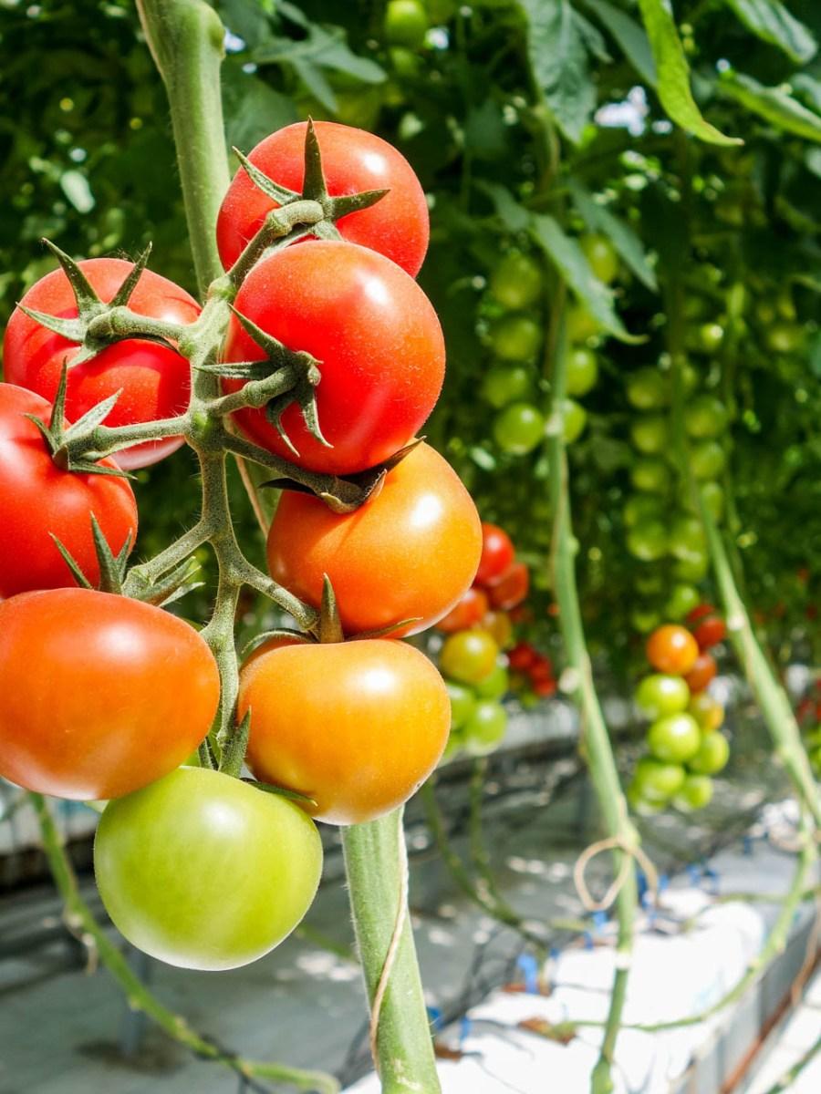 Dlaczego pomidory nie mają smaku i zapachu?