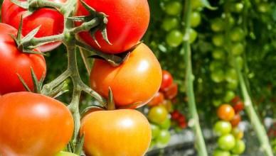 Pomidory hydroponiczne