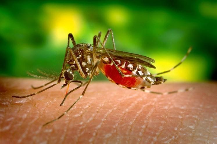 Krew wypijają tylko komarzyce