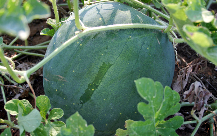 Blacktail Mountain Wassermelone