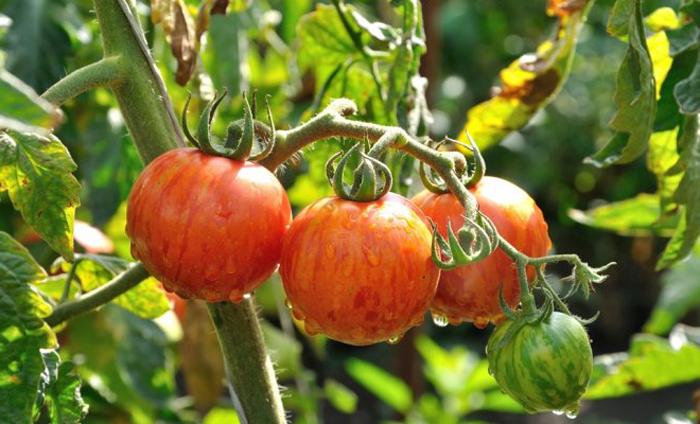 Tomaten Striped Stuffer