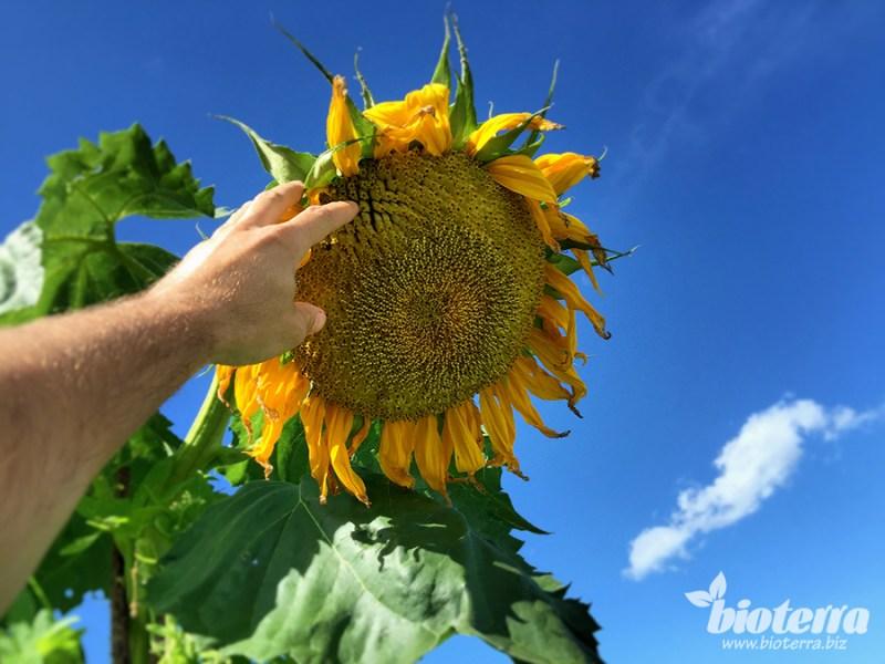 Sonnenblume Russische Riesen