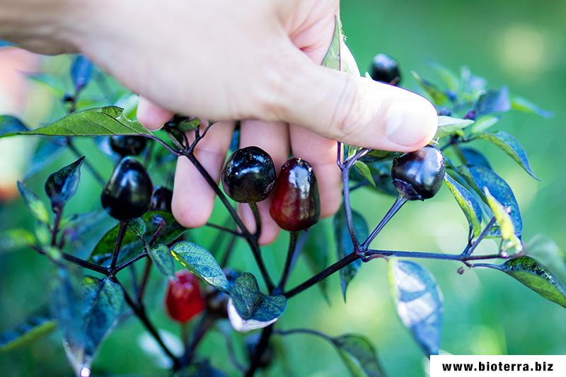 Black Olive Chili